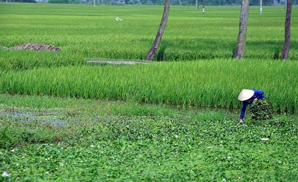 Infinitas plantações de arroz nas estradas do Vietnã