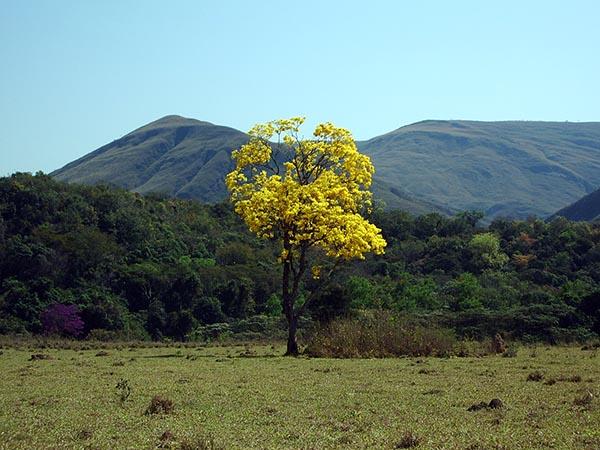 Um solitário Ipê amarelo se destaca no caminho para a Fazenda